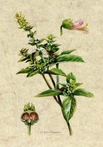 Basilico erbe prosperità