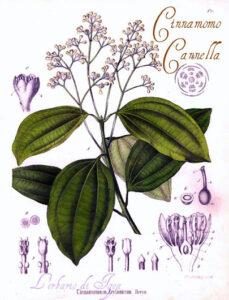 Cannella o Cinnamomo, erbe prosperità