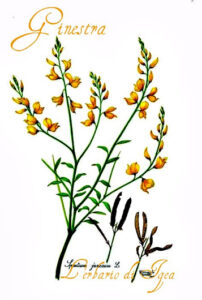 Ginestra erbe prosperità