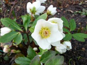 rosa di natale - erbe magiche del solstizio