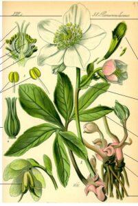 Elleboro o Rosa di Natale - erbe e piante del Solstizio da regalare