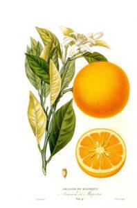 Arancio - Erbe e piante magiche più gustose del solstizio