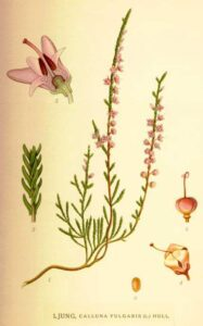 Erica - erbe e piante magiche del solstizio da regalare