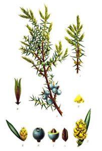 ginepro piante magiche solstizio profumi