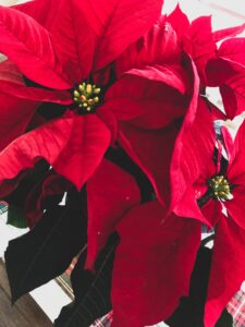 Stella di Natale - erbe e piante magiche del Solstizio da regalare