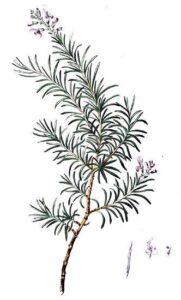 rosmarino erbe e piante magiche del solstizio