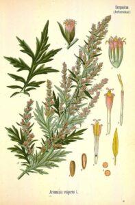 artemisia erbe s. Giovanni seconda parte